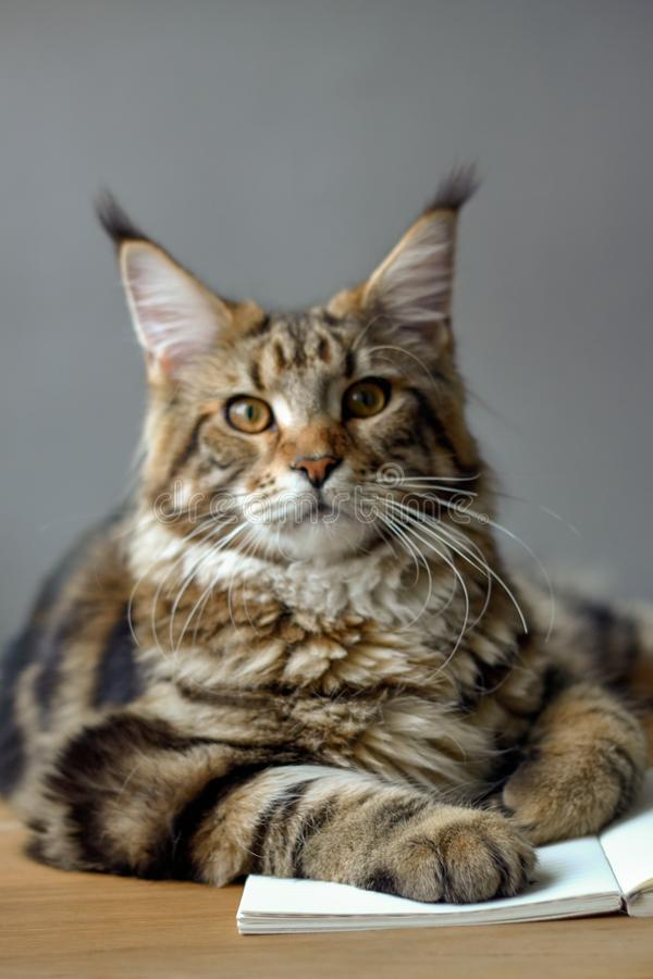 Close-up portrait of Maine Coon cat sitting on a wooden table and reading a book, selective focus, copyspace. Closeup portrait of Maine Coon cat sitting on a stock photography