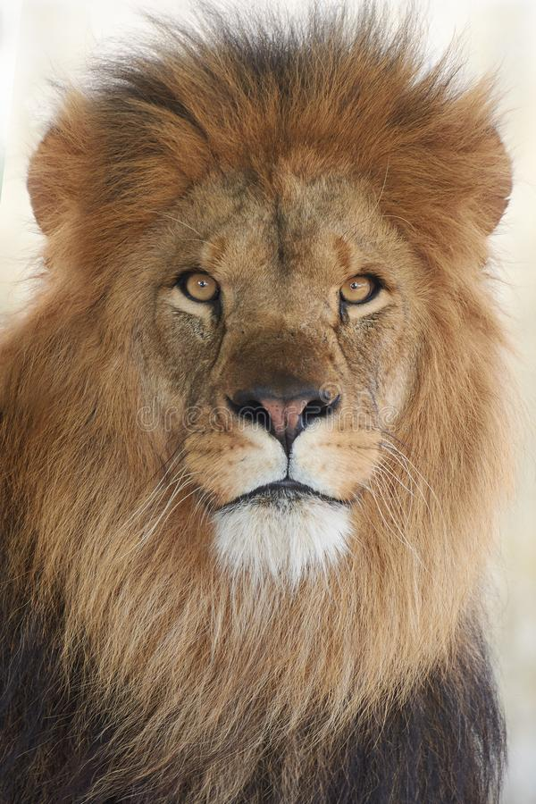 Lion Panthera leo royalty free stock photography