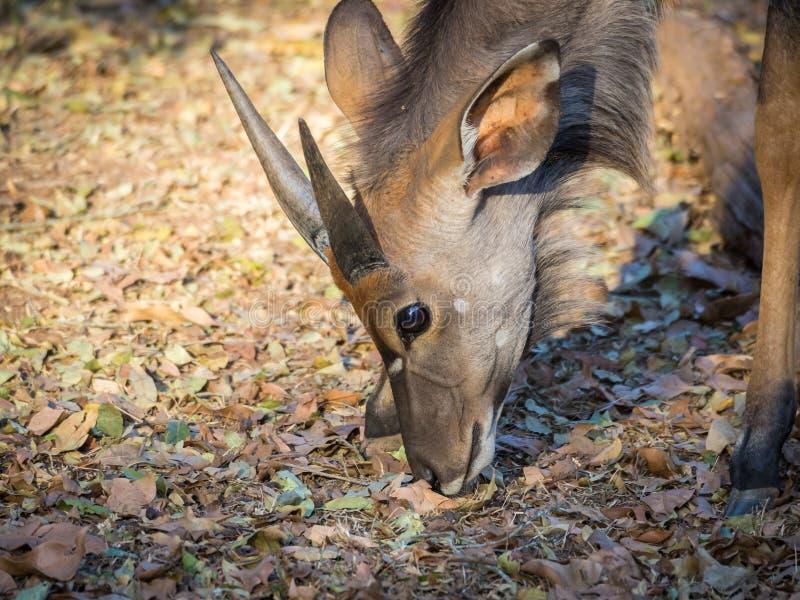 Closeup portrait of male Nyala antelope in Mlilwane Wildlife Sanctuary, Swaziland, Southern Africa royalty free stock photography