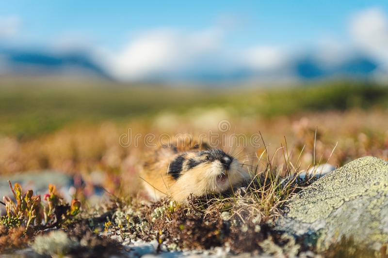 Closeup portrait of a Norwegian lemming outdoors in Rondane national park royalty free stock photo