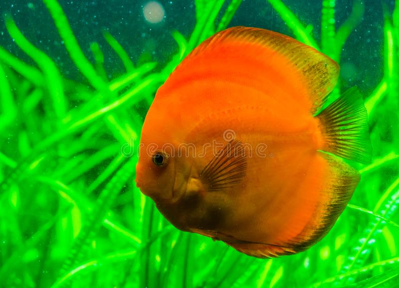Closeup portrait of a orange discus fish, popular tropical pet from the Amazon basin of South America, Exotic fish specie. A closeup portrait of a orange discus stock photo