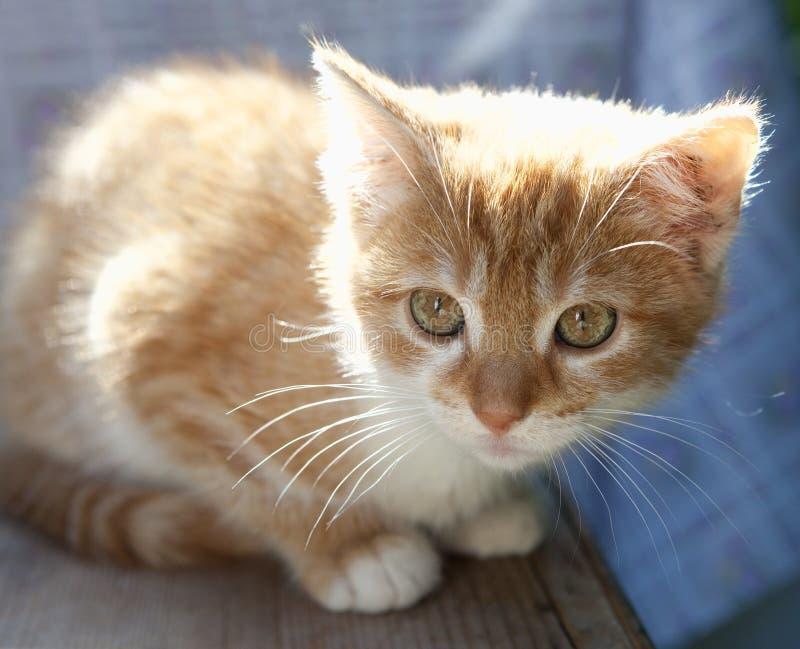 Closeup Portrait of an Orange Kitten Outdoor royalty free stock photo