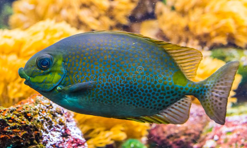 Closeup portrait of a orange spot rabbit fish, colorful tropical pet from the indo pacific ocean. A closeup portrait of a orange spot rabbit fish, colorful royalty free stock photography