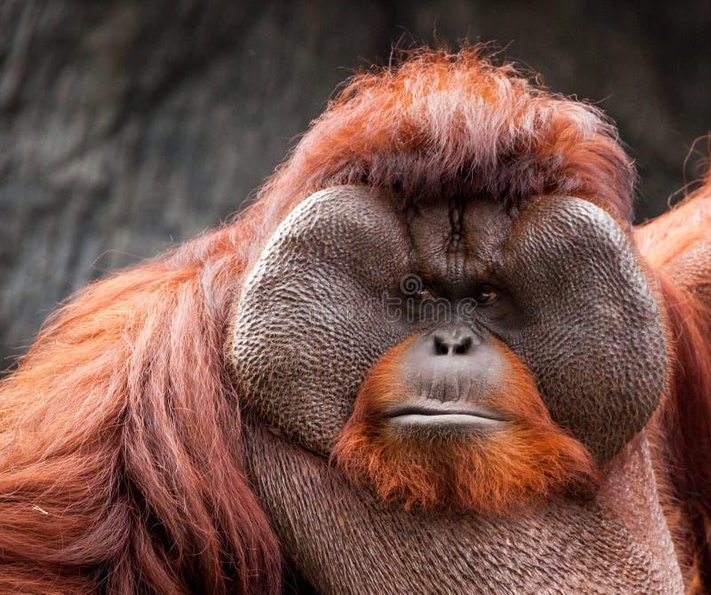 Portrait of funny Asian orangutan, adult. royalty free stock photography