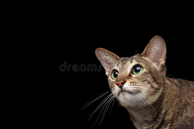 Closeup portrait of Oriental Cat Looking up Isolated on Black. Background royalty free stock photo