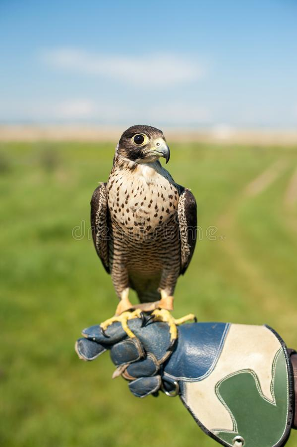 Closeup portrait of a peregrine falcon posing on the hand of the falconer. Closeup portrait of a peregrine falcon falco peregrinus posing on the hand of the royalty free stock images