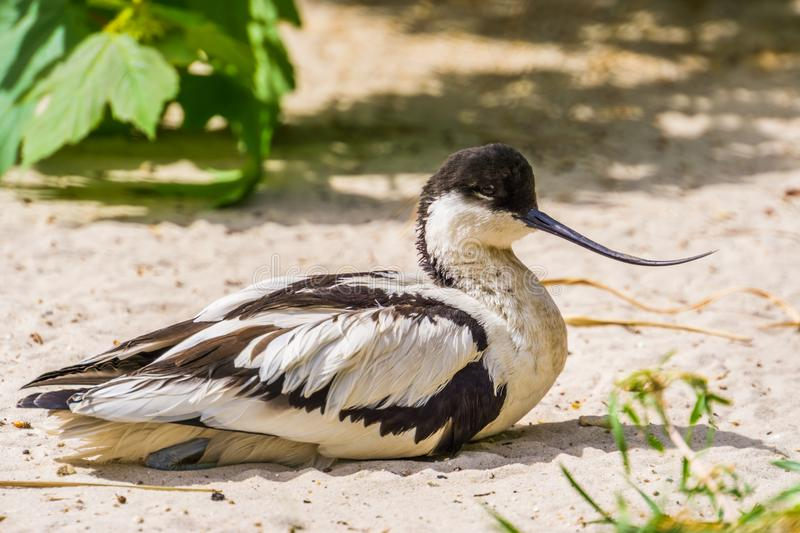 Closeup portrait of a pied avocet sitting on the ground, black and white wading bird with a curved bill, migratory bird from stock photos