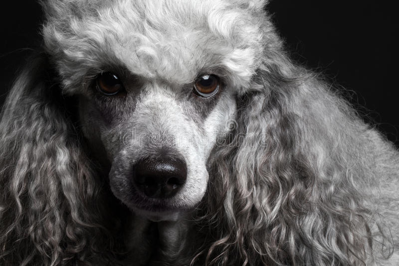 close-up portrait poodle stock photography
