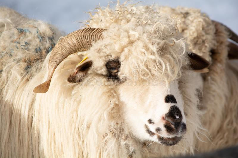 Closeup portrait of a ram, sheep at the traditional eco farm. In Romania royalty free stock images