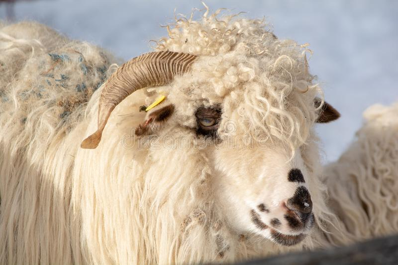 Closeup portrait of a ram, sheep at the traditional eco farm. In Romania stock photography