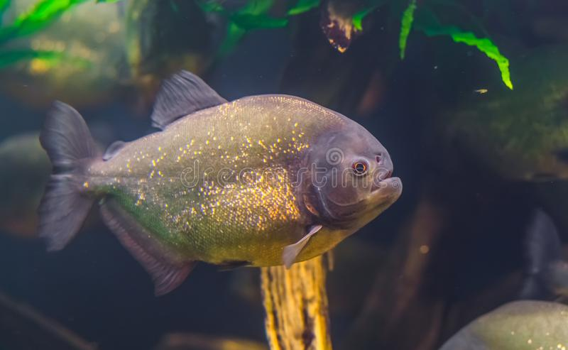 Closeup portrait of a red bellied piranha, popular ornamental aquarium pet with golden shiny scales, tropical fish specie from the. A closeup portrait of a red stock image