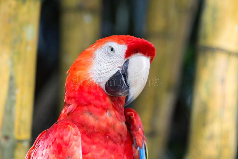 Closeup portrait of the red macaw parrot in Ubud bird park. stock photos