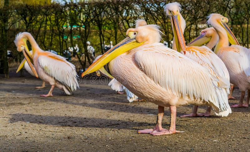 Closeup portrait of a rosy pelican with his family in the background, group of pelicans royalty free stock photos