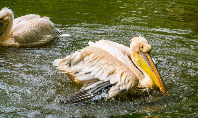 Closeup portrait of a rosy pelican landing in the water, common aquatic bird specie from Eurasia. A closeup portrait of a rosy pelican landing in the water royalty free stock photo