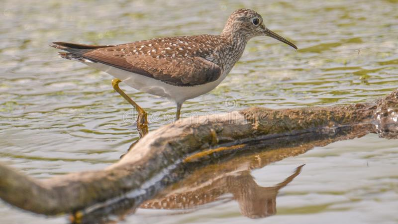 Closeup portrait of sandpiper / yellowlegs species hunting in the wetlands off the Minnesota River in the Minnesota Valley Nationa stock photography
