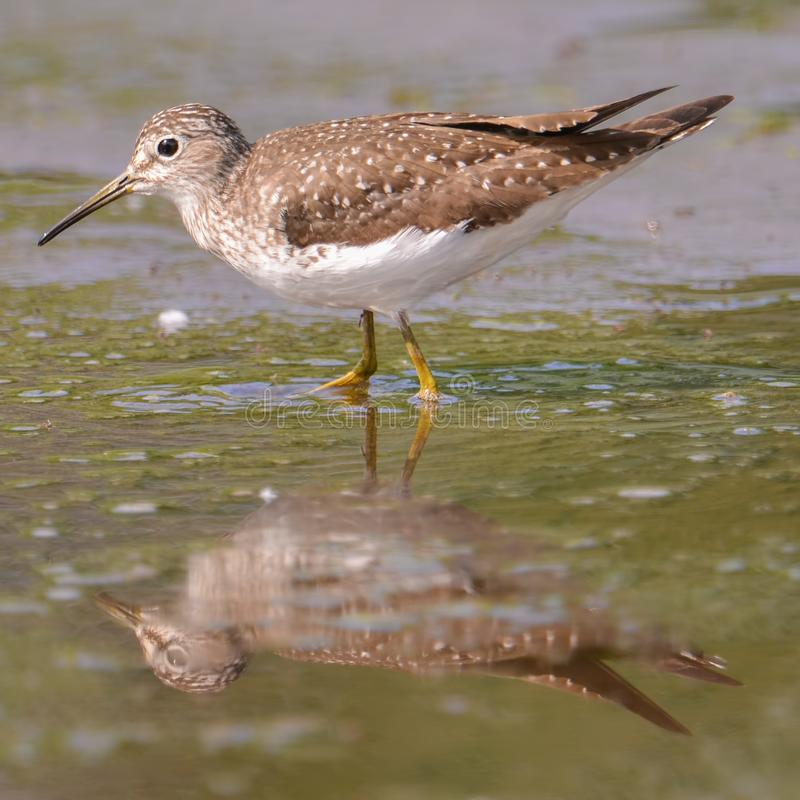 Closeup portrait of sandpiper / yellowlegs species hunting in the wetlands off the Minnesota River in the Minnesota Valley Nationa stock photo