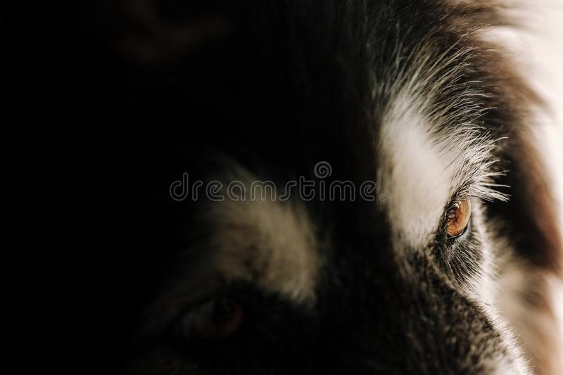 closeup portrait and Selective focus on brown eye of Siberian Husky dog, eyes expression concept with copy space. stock images