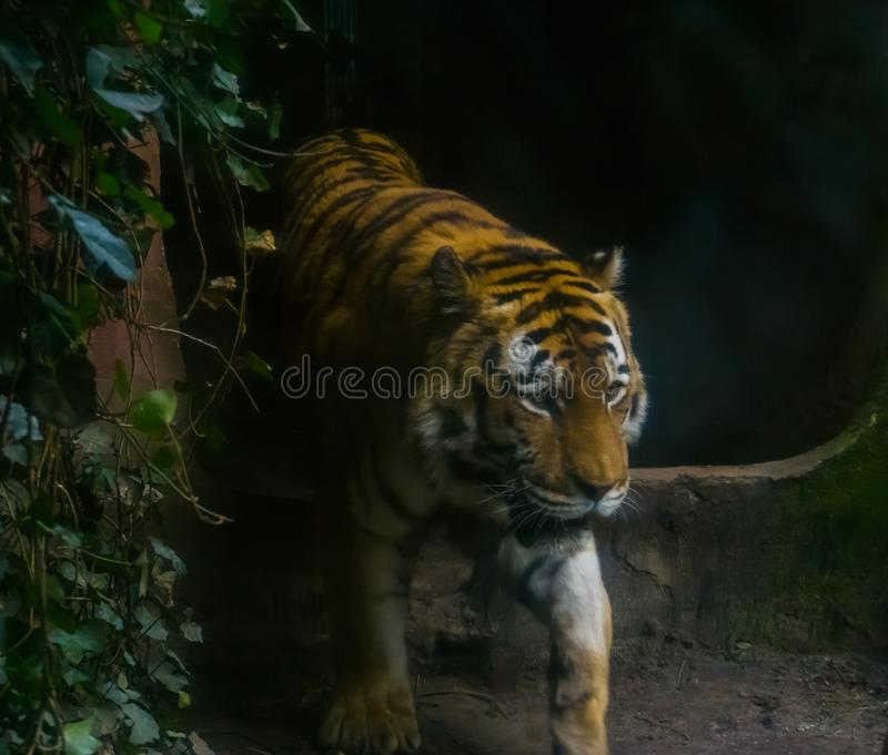 Closeup portrait of a siberian tiger walking by, Endangered animal from Siberia. A closeup portrait of a siberian tiger walking by, Endangered animal from stock images