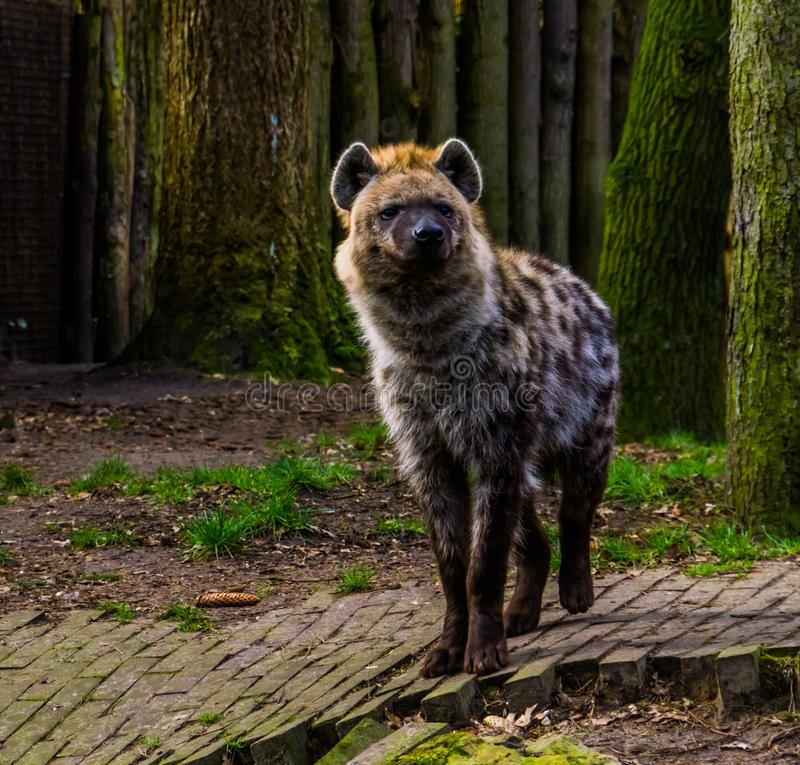Closeup portrait of a spotted hyena, Wild mammal from the desert of africa royalty free stock image