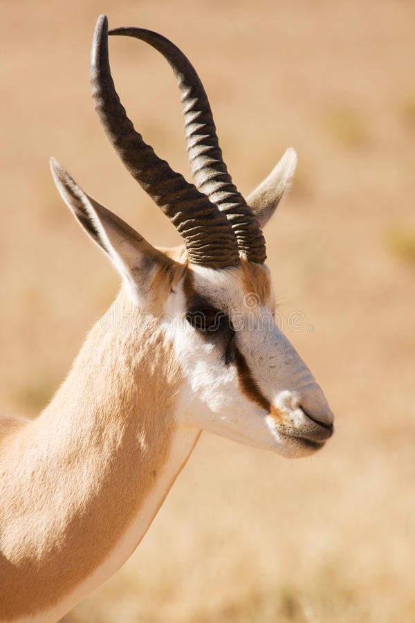 Closeup portrait of a Springbok gazelle stock image