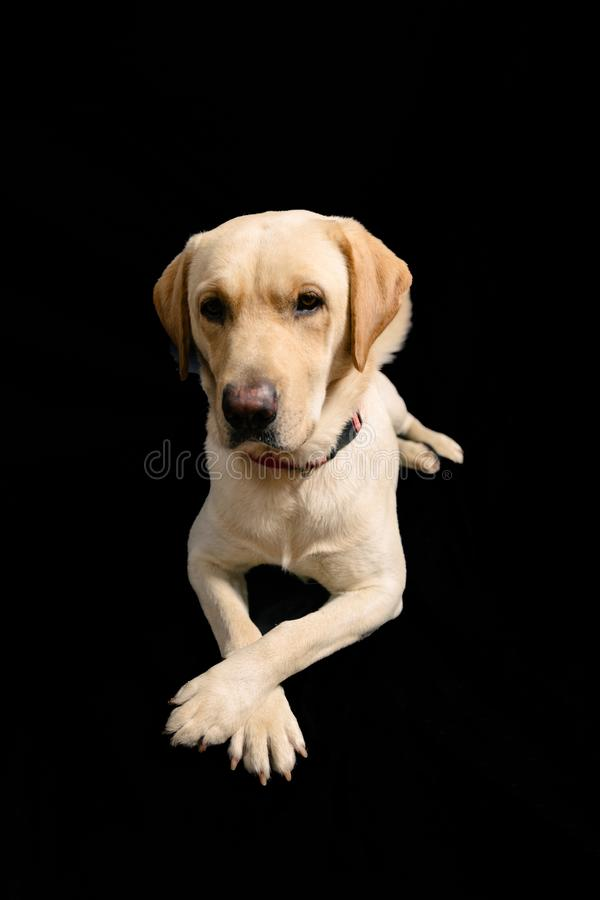 Closeup Portrait in studio of blond labrador on black background stock photos