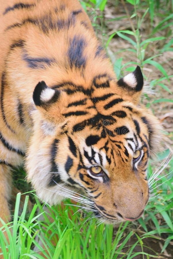 Closeup portrait of Sumatra Tiger. In vertical frame stock photos