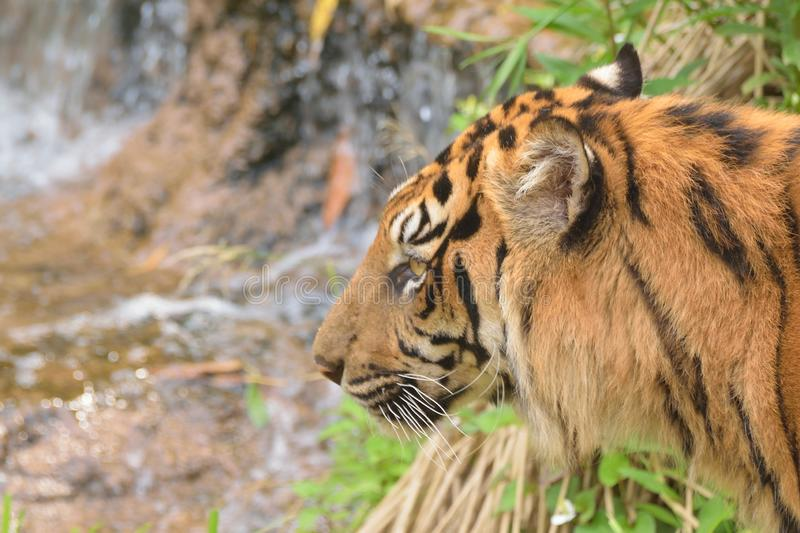 Closeup portrait of Sumatra Tiger. In horizontal frame stock images