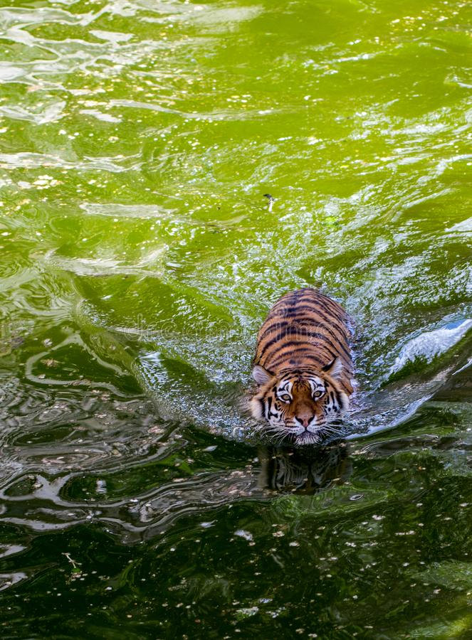 Closeup portrait of a swimming tiger top view.  stock image