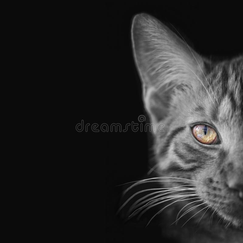 Closeup portrait of a tabby cat with vibrant eyes. royalty free stock photos