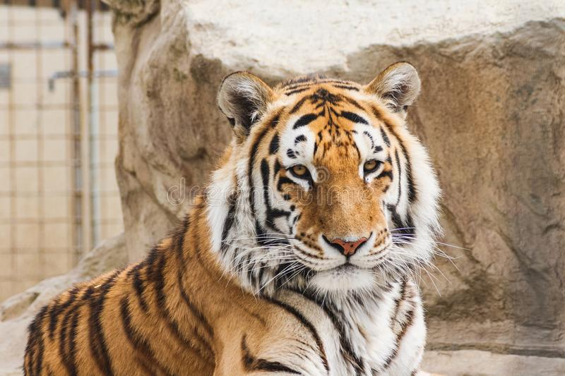 Closeup portrait of a tiger in subingen switzerland. Summer royalty free stock images