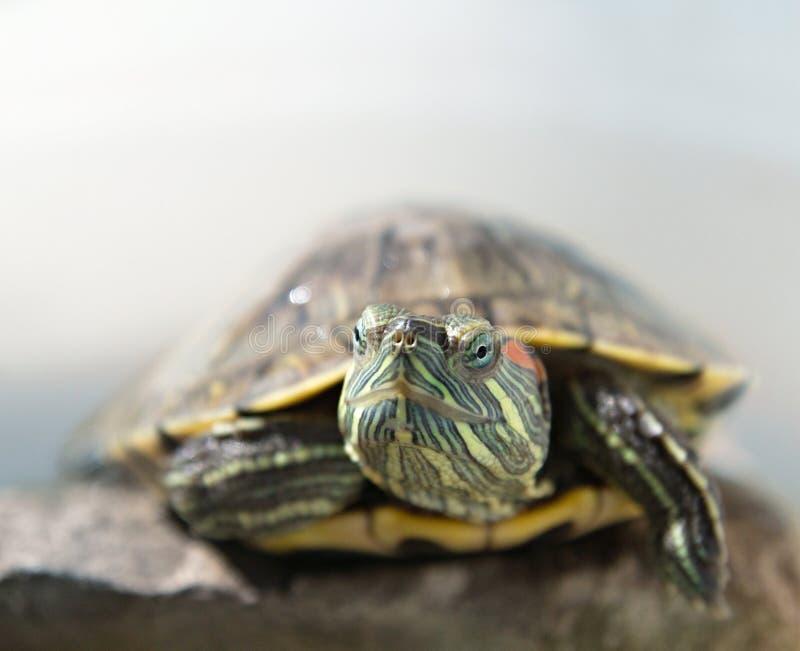 Closeup portrait of a tortoise royalty free stock photos