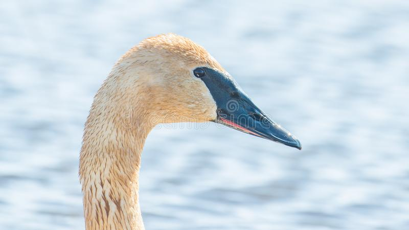 Closeup portrait of trumpeter swan head with detail of beautiful plumage, eye, and beak - in early Spring during migration - taken. In the Crex Meadows Wildlife stock photo