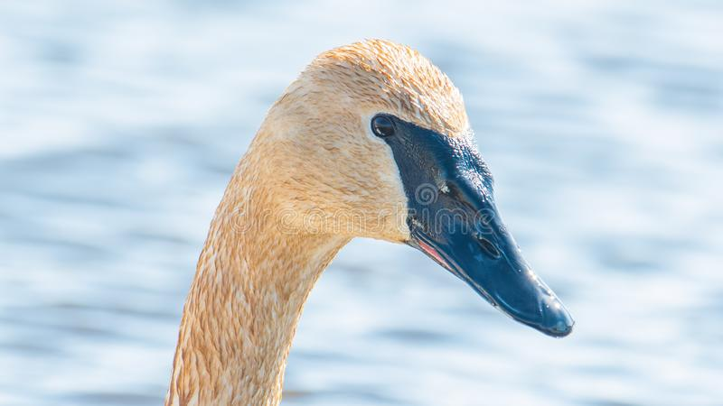 Closeup portrait of trumpeter swan head with detail of beautiful plumage, eye, and beak - in early Spring during migration - taken. In the Crex Meadows Wildlife stock photos