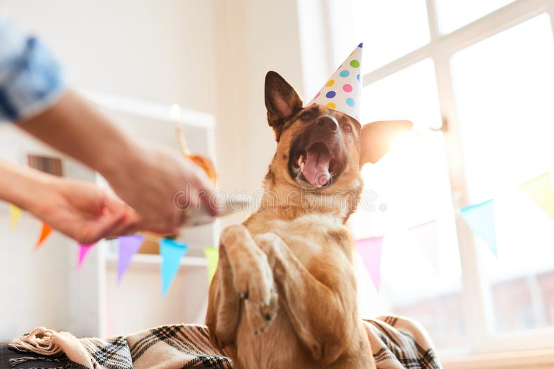 Happy Dog on Birthday. Closeup portrait of unrecognizable woman giving Birthday cake to dog, copy space royalty free stock photo