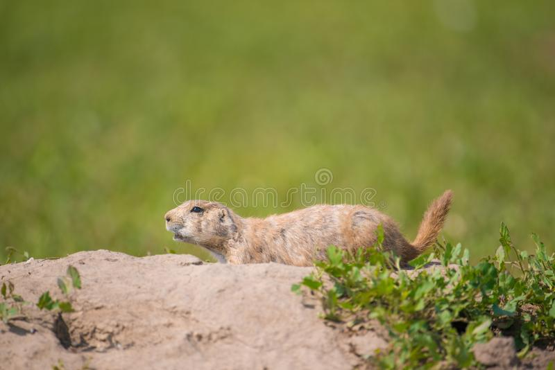 Closeup portrait of a very cute, furry, and expressive prairie dog in the Badlands National Park stock image