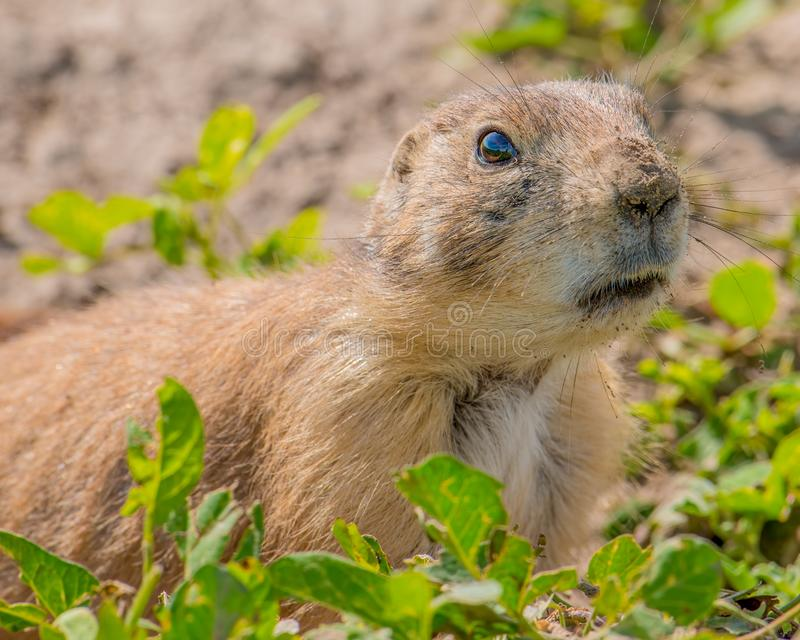 Closeup portrait of a very cute, furry, and expressive prairie dog in the Badlands National Park stock photo