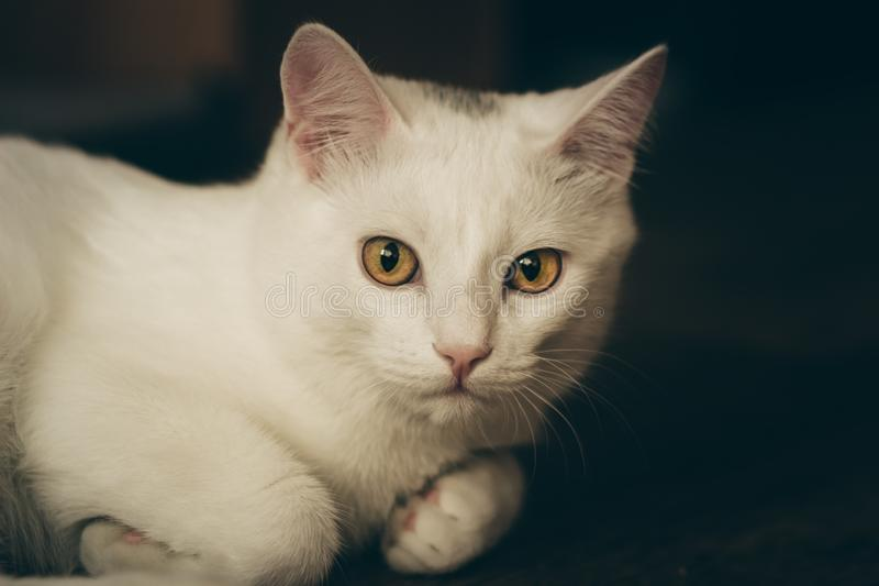 Closeup portrait of a white cat with yellow eyes, dark background. The cat lies on the floor, looking at the camera stock photography