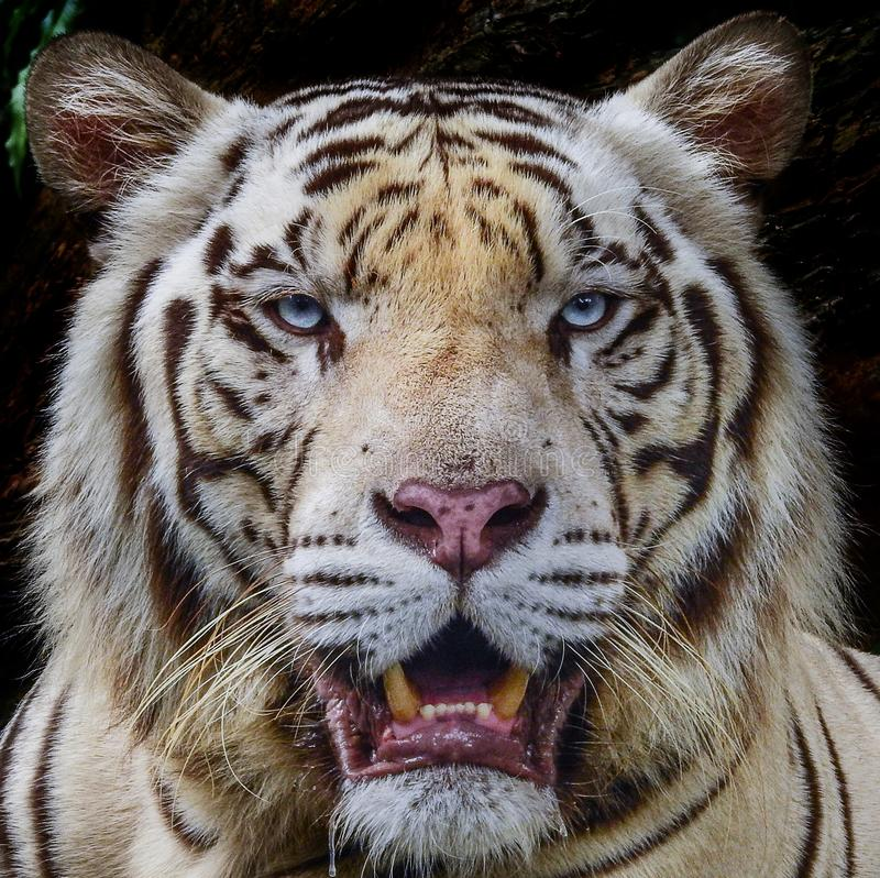 Angry white tiger stock image. Image of asia, rare ...