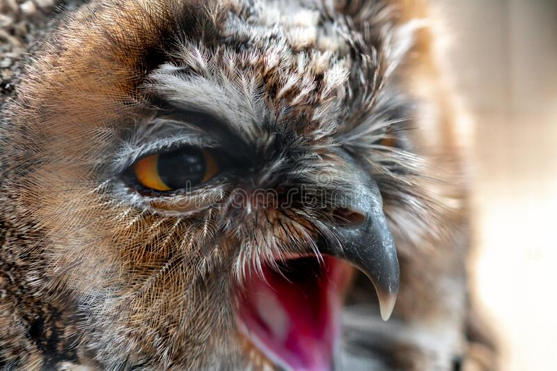 Closeup portrait of wild owl screaming and looking away royalty free stock images