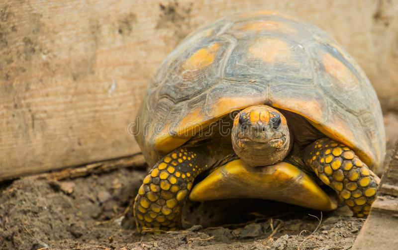 Closeup portrait of a yellow footed tortoise, tropical land turtle from America, Reptile specie with a vulnerable status. A closeup portrait of a yellow footed stock photos