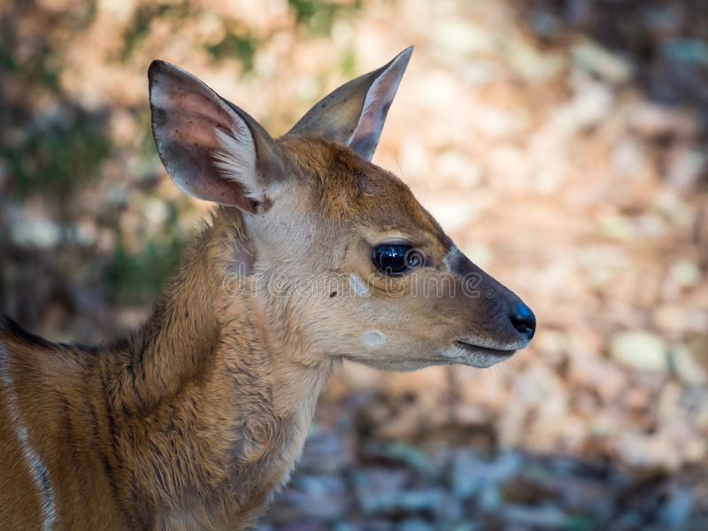 Closeup portrait of young Nyala antelope in Mlilwane Wildlife Sanctuary, Swaziland, Southern Africa royalty free stock images