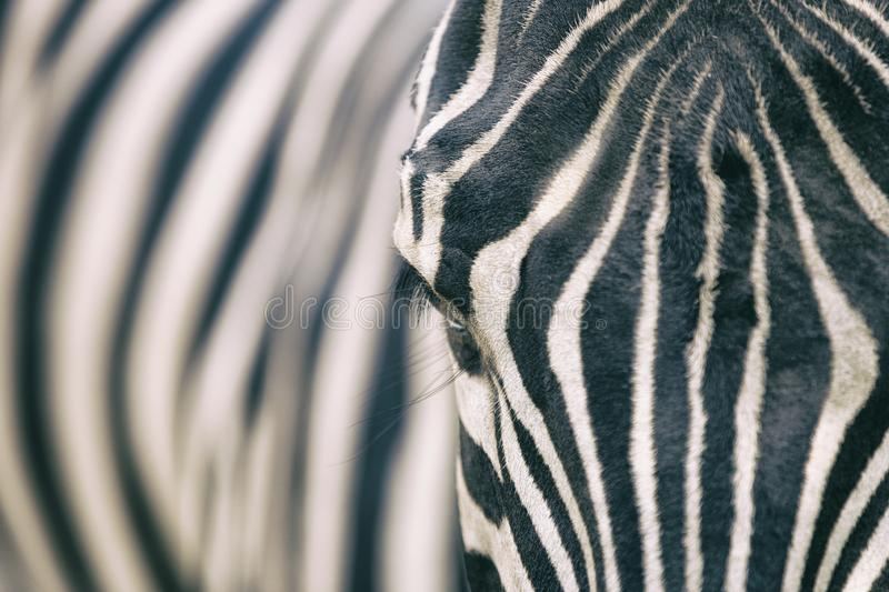 Closeup portrait of zebra stock image