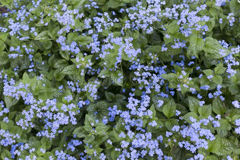 Siberian bugloss or great forget-me-not in the spring stock photography