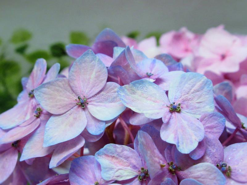 Closeup Bright Pretty Pink Blue Hydrangea Flowers In Summer 2019 royalty free stock photo