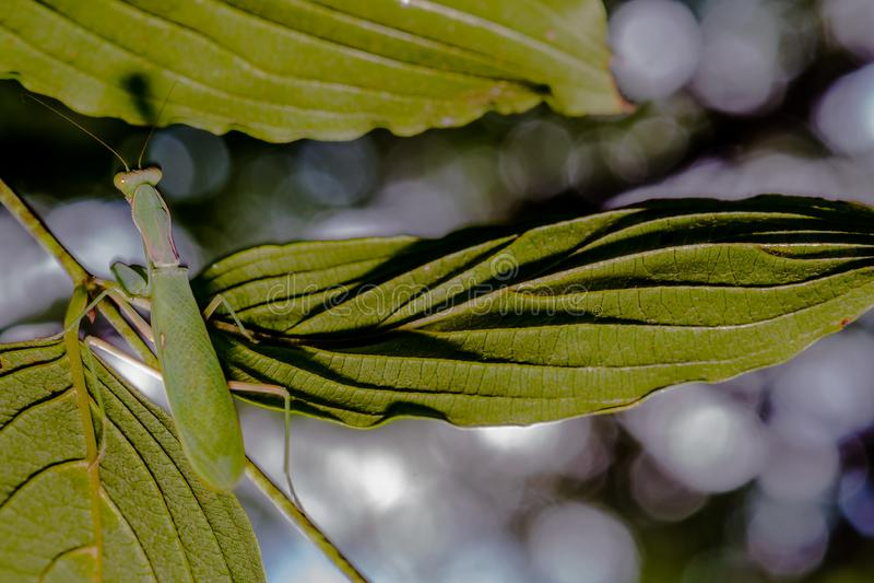 Closeup of preying mantis stock photo