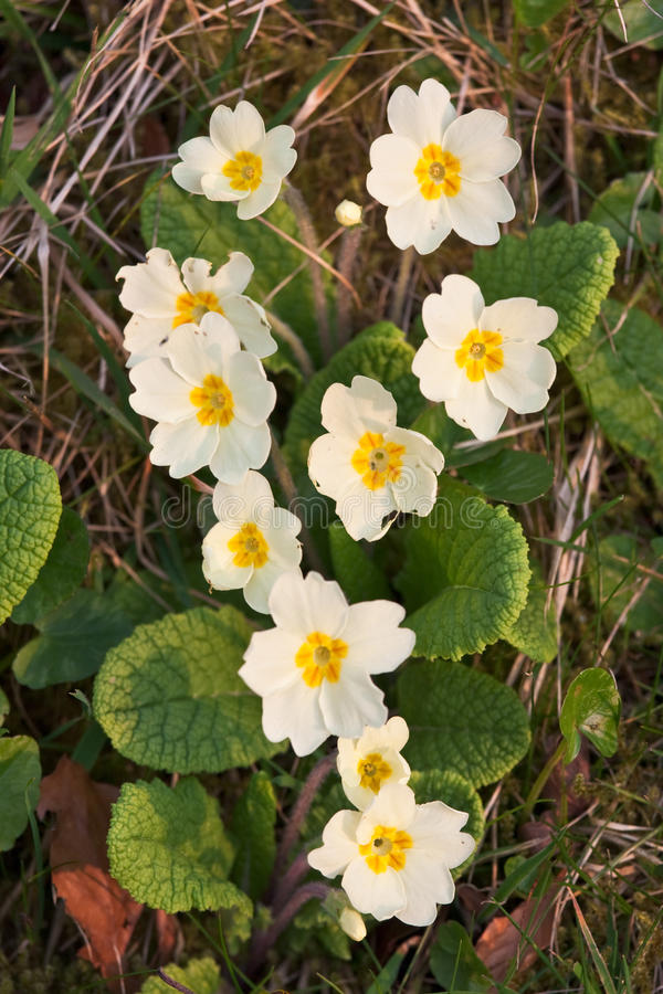 Download Closeup Of Primroses In Warm Afternoon Light Royalty Free Stock Photography - Image: 14205267