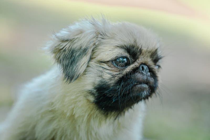 Closeup profile of Pekingese breed of dog. Closeup of the Pekingese is an ancient breed of toy dog, originating in China royalty free stock images