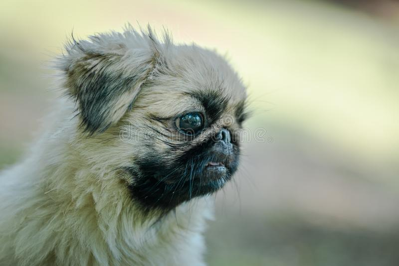 Closeup profile of Pekingese breed of dog. Closeup of the Pekingese is an ancient breed of toy dog, originating in China looking right side stock photography