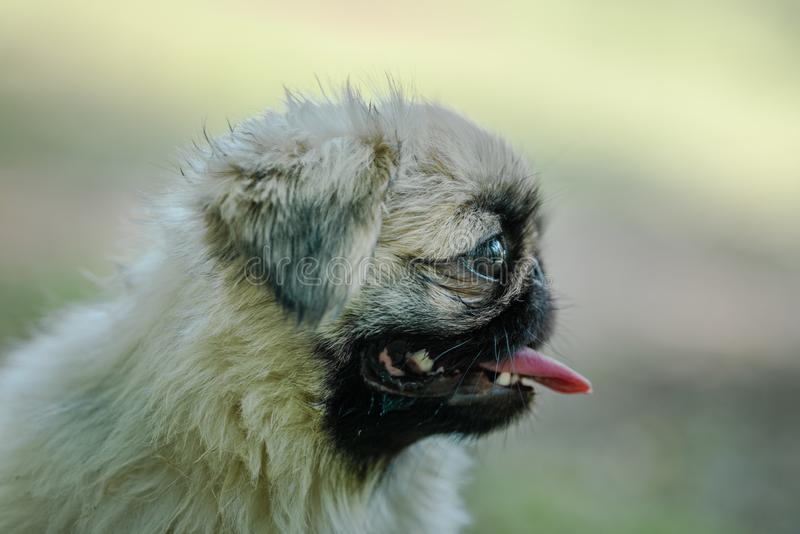 Closeup profile of Pekingese breed of dog with tongue hanging looking right side. Closeup of the Pekingese is an ancient breed of toy dog, originating in China stock photo