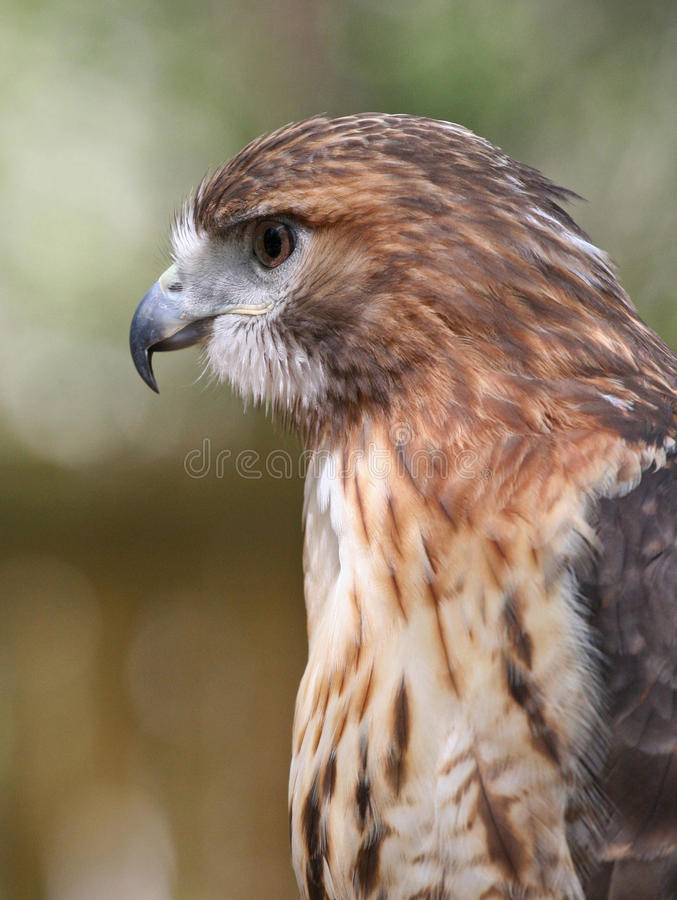 Download Closeup Profile Of Red Tailed Hawk Raptor Stock Photo - Image of plumage, hawk: 26312896